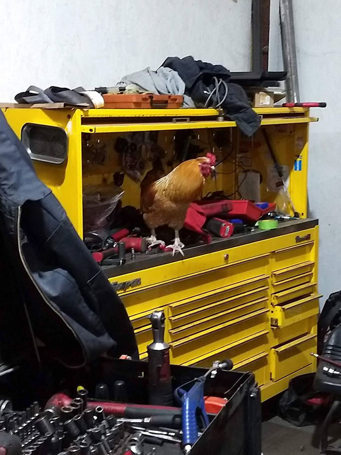"""Abandoned Rooster Randomly Shows Up At Auto Shop And Decides He """"Works"""" Here Now"""