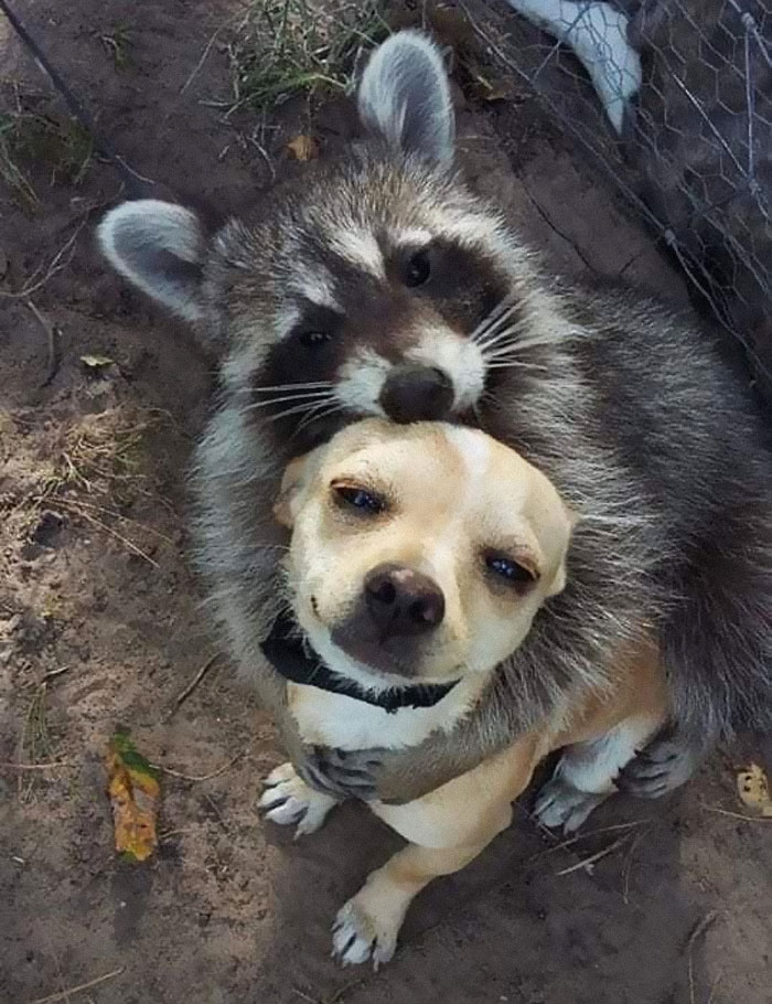 Just A Raccoon Hugging A Chihuahua