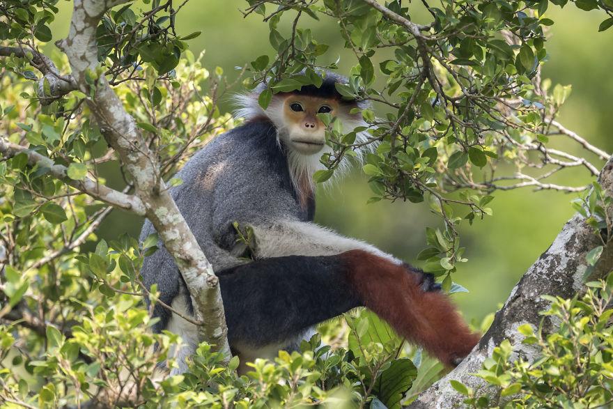 Treetop Douc