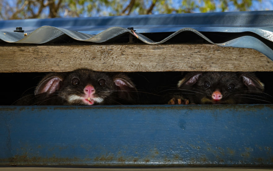 Peeking Possums