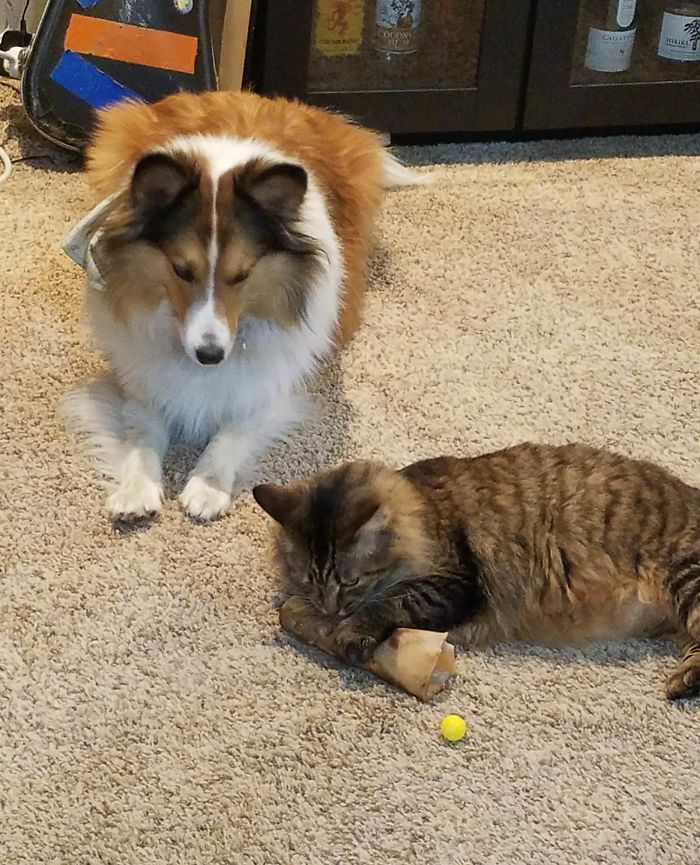 My Cat Stole My Dog's Bone But The Dog Is Too Nice To Take It Back So Instead He Is Just Watching And Whining