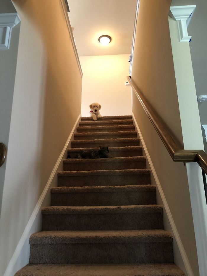 My Dog Is Stuck Because The Cat Knows She Controls The Stairs
