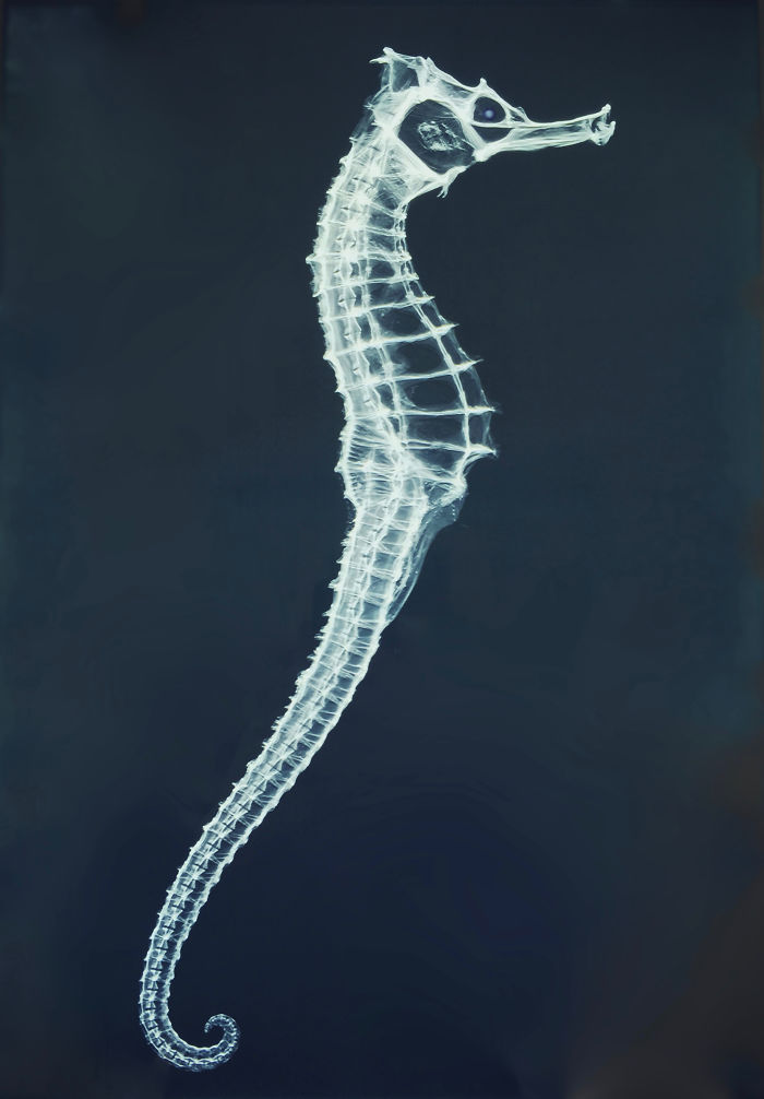 X-Ray Of A Seahorse