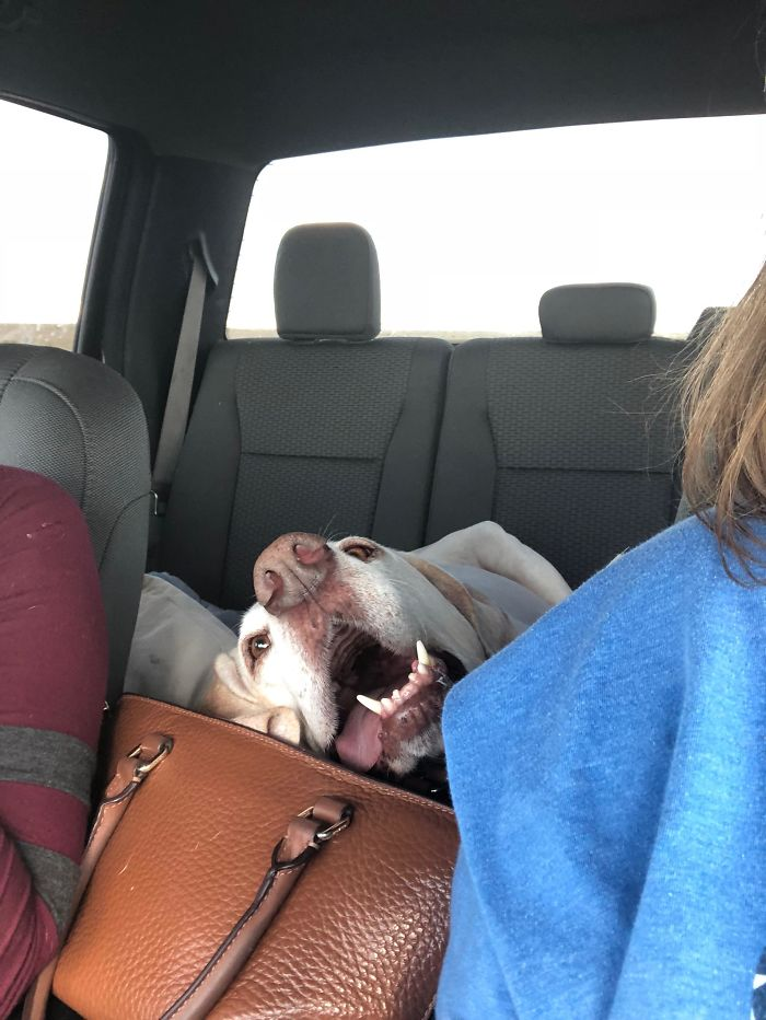 40 Times Doggos Acted So Ridiculously When Riding In Cars That Their Owners Just Had To Take A Pic