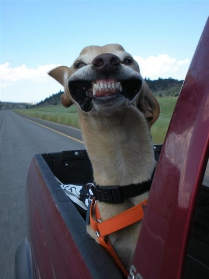 Funny-Dogs-Riding-Cars-Pics