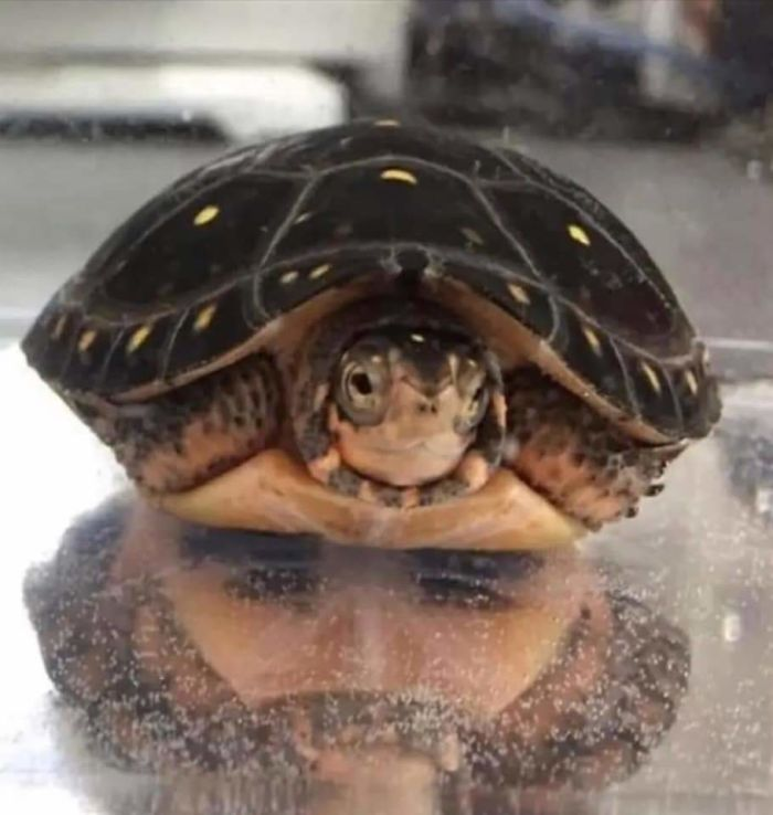 Tortuga con un reflejo que se parece a la cara de un hombre