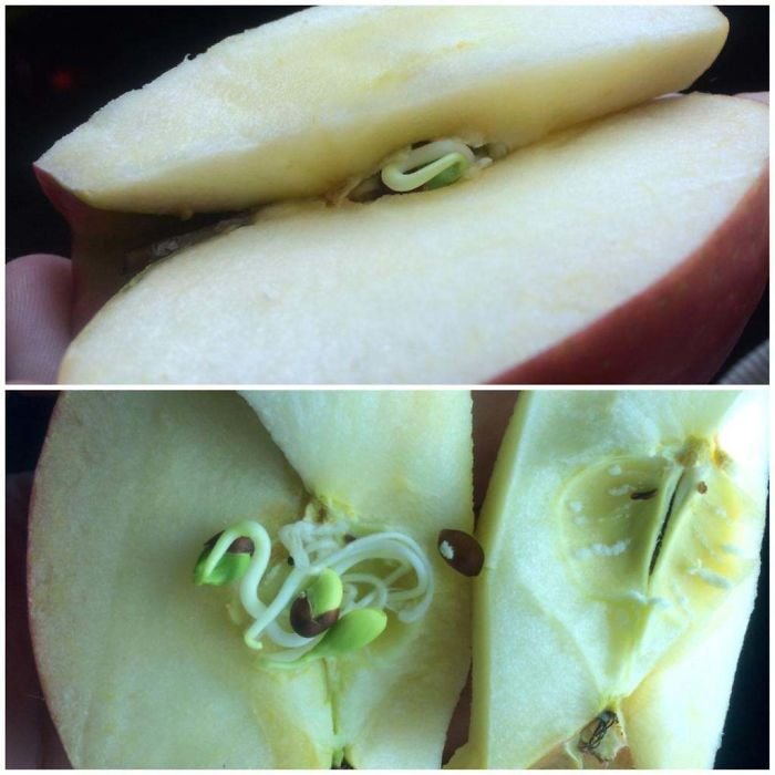 Noticed Something That Looked Like A Worm In My Apple. Upon Further Inspection, It Turned Out To Be The Seeds Inside Sprouting