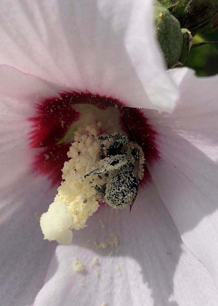 This Bee Covered In Pollen