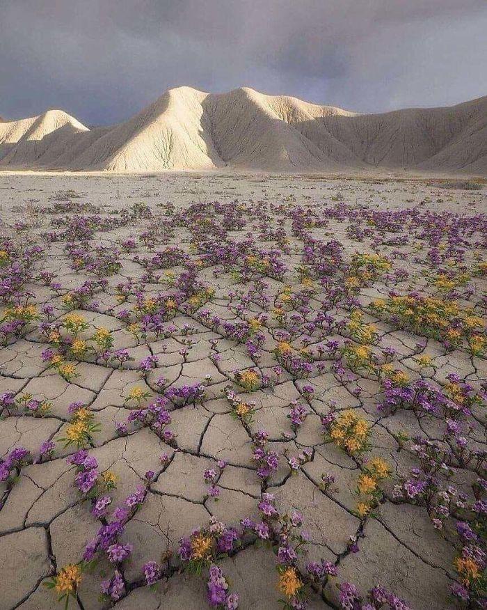 A Rare Desert Bloom In The Atacama Desert In Chile