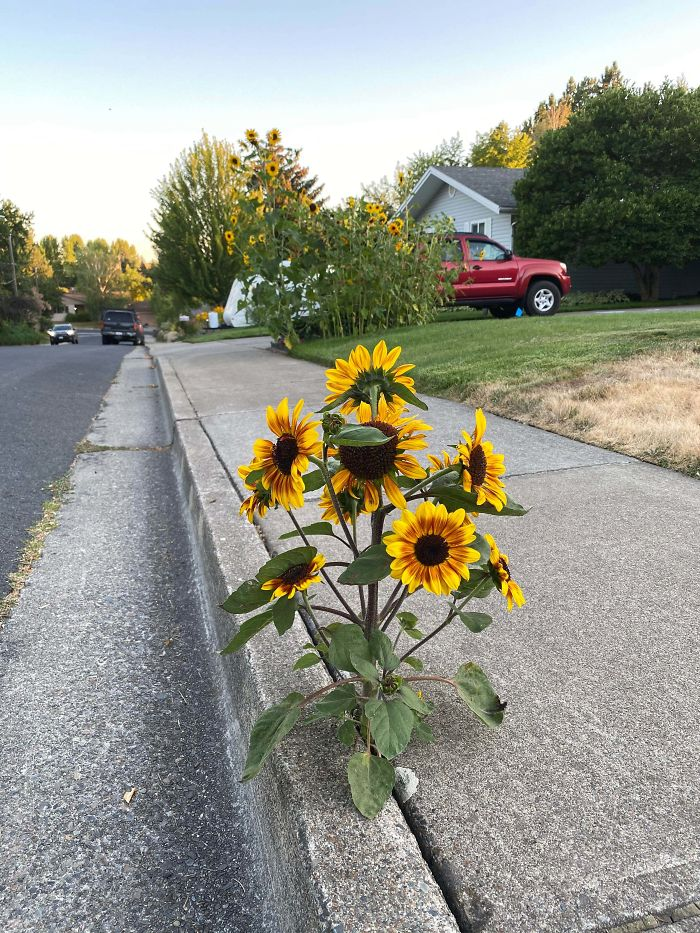 Sunflower Growing Out Of The Sidewalk - Parent Patch Visible In Background