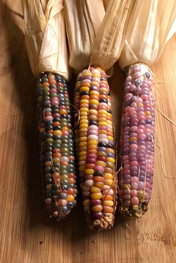 3 Ears I Grew From The Same Heirloom Corn Variety