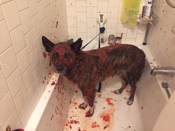 Friends Dog Got Skunked And She Tried To Use Tomato Sauce To Get It Out. He Looks Like He Just Committed Murder And Got Caught