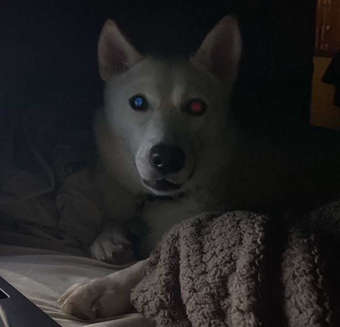 My Dog Has Heterochromia - Her Blue Eye Reflects Red And Her Brown Eye Reflects Blue