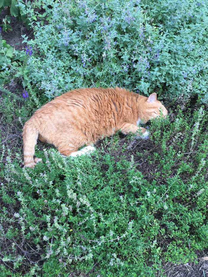 My 19 Year Old Cat Just Found Out He Loves The Smell Of Lavender