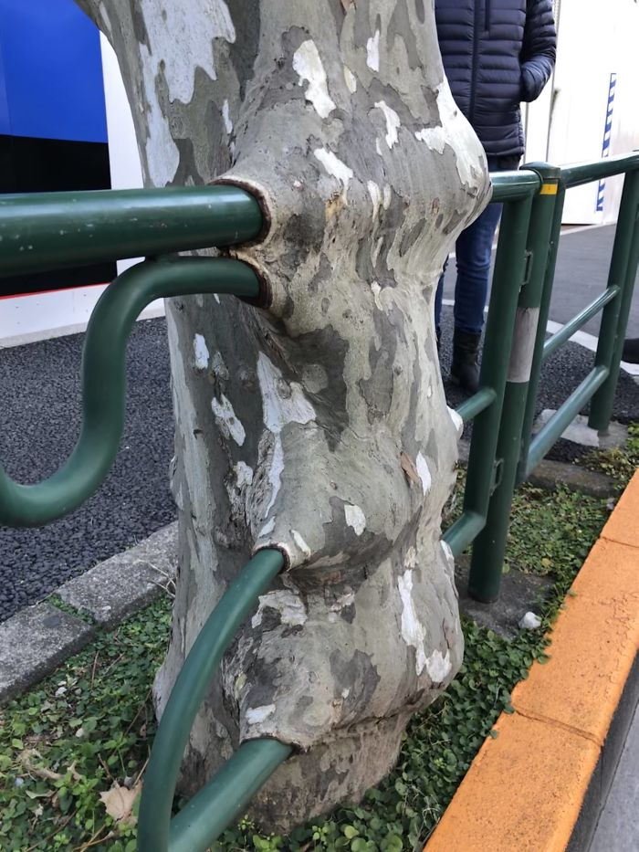 This Tree Has Grown Round The Railing