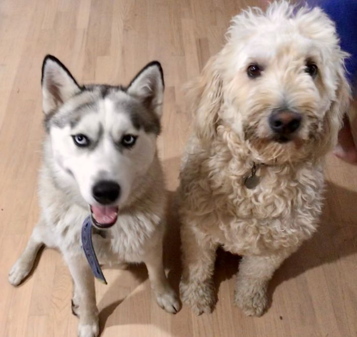 My Two Dogs Clyde (Golden Doodle) And Flash (Siberian Husky)