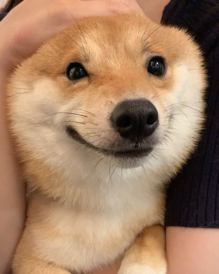 Собака породы сиба-ину