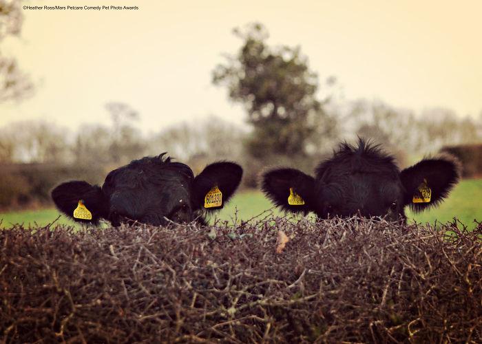 Vacas camufladas, Heather Ross