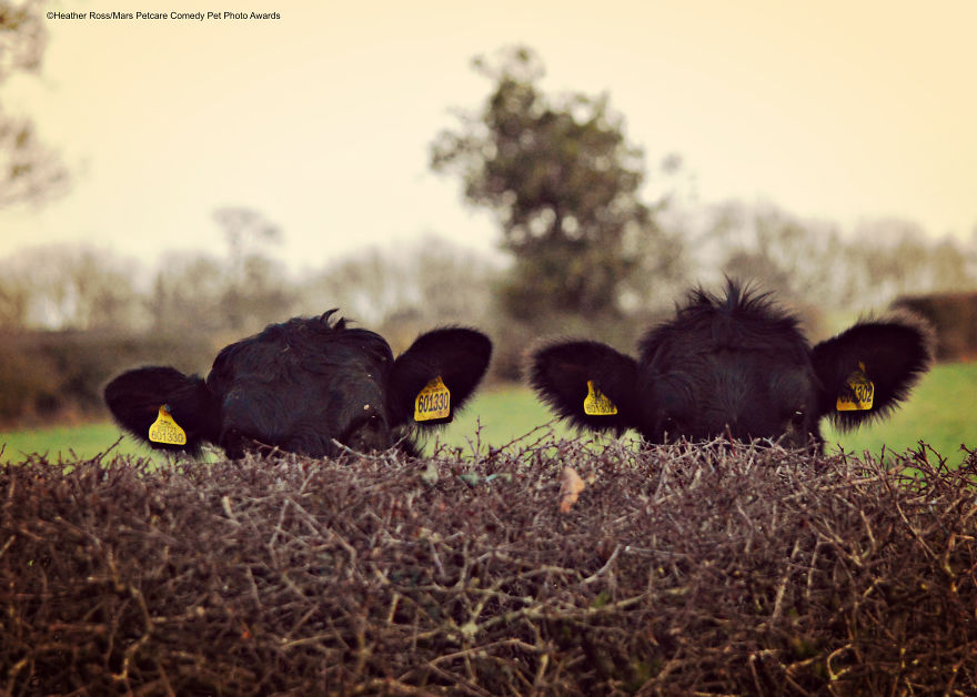 'Covert Cows' By Heather Ross