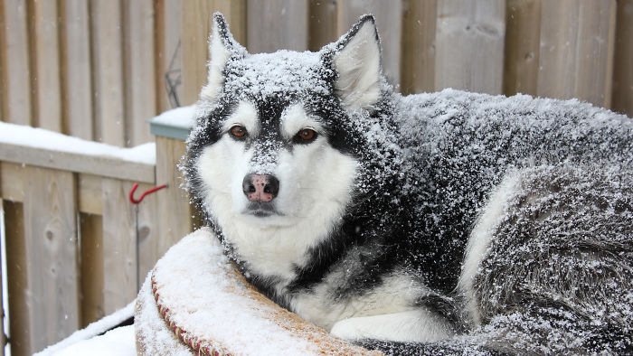 My Snow Dog Kiesha (Laying On Her Pillow, On Top Of The Dog House)