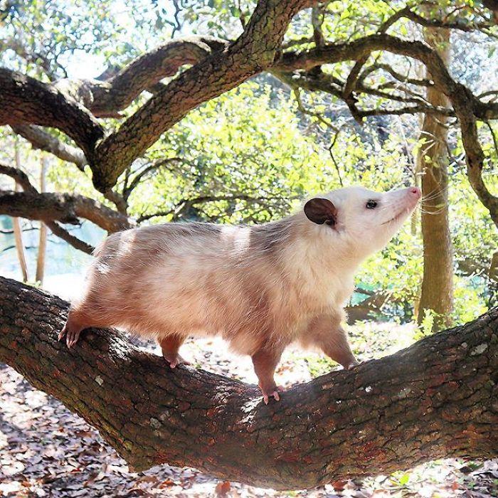 Meet Sesame, The Skunk Who Broke All Stereotypes Of His Species