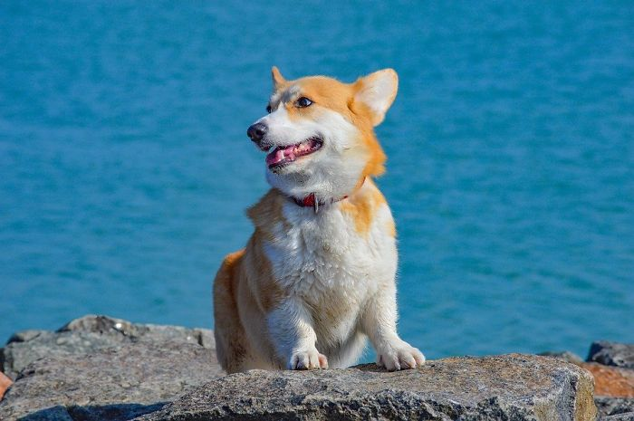 My Corgi Sandy Loves Hanging Out By The Beach And Covid Ain't Stopping Her