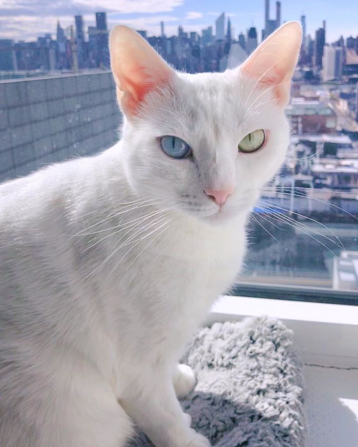 Abandoned-Different-Colored-Eyes-Extra-Toes-Finds-Home-Sansa-The-Cat