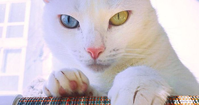 Cat With Heterochromia And Extra Toes Was Neglected And Abandoned By Previous Owners, Now Is An Instagram Star (43 Pics)