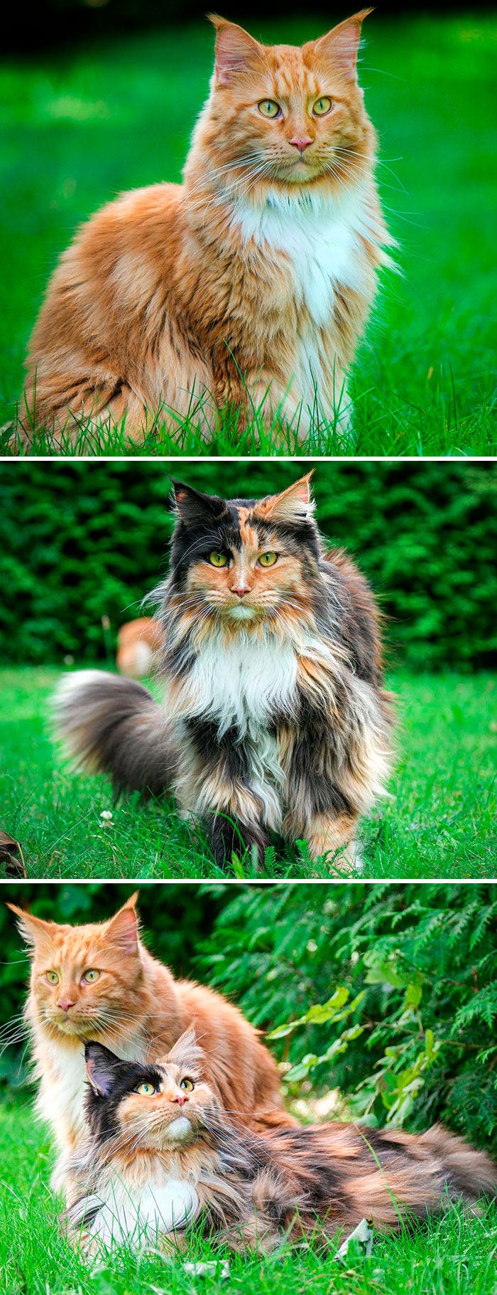 Adorable-Majestic-Maine-Coon-Cats-Instagram