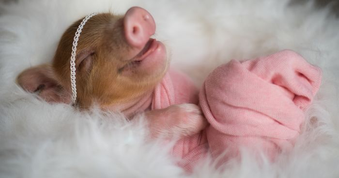 Photographer Does Adorable Newborn Photoshoot With A Baby Piglet Because The World Needs More Cuteness 14 Pics Bored Panda