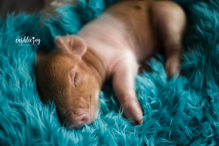 Photographer Does Adorable Newborn Photoshoot With A Baby Piglet Because The World Needs More Cuteness (14 Pics)