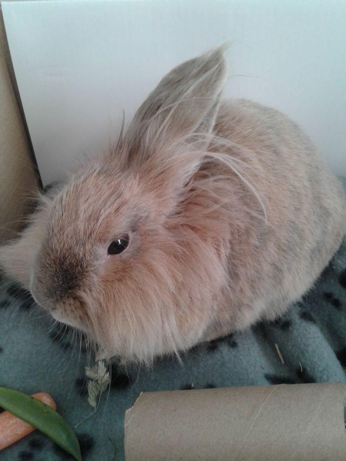 Bugsy Is A 2yr Old Dwarf Lionhead Rabbit