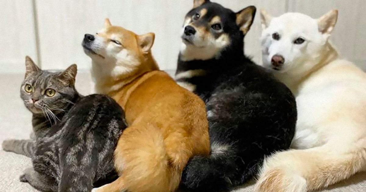 This Adorable Cat Lives With 3 Shiba Inus, And He Has Become Part Of The Pack (54 Pics) - bored panda