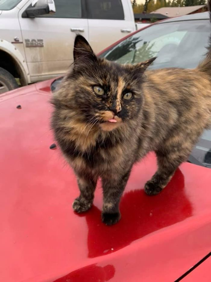 My Car, But Not My Cat. Very Beautiful, Very Friendly, Likes To Stick Her Tongue Out At You & Show Off Her Balancing Skills. Found Out That This Is The Neighbour's Cat & Her Name Is Foxy. 10000/10