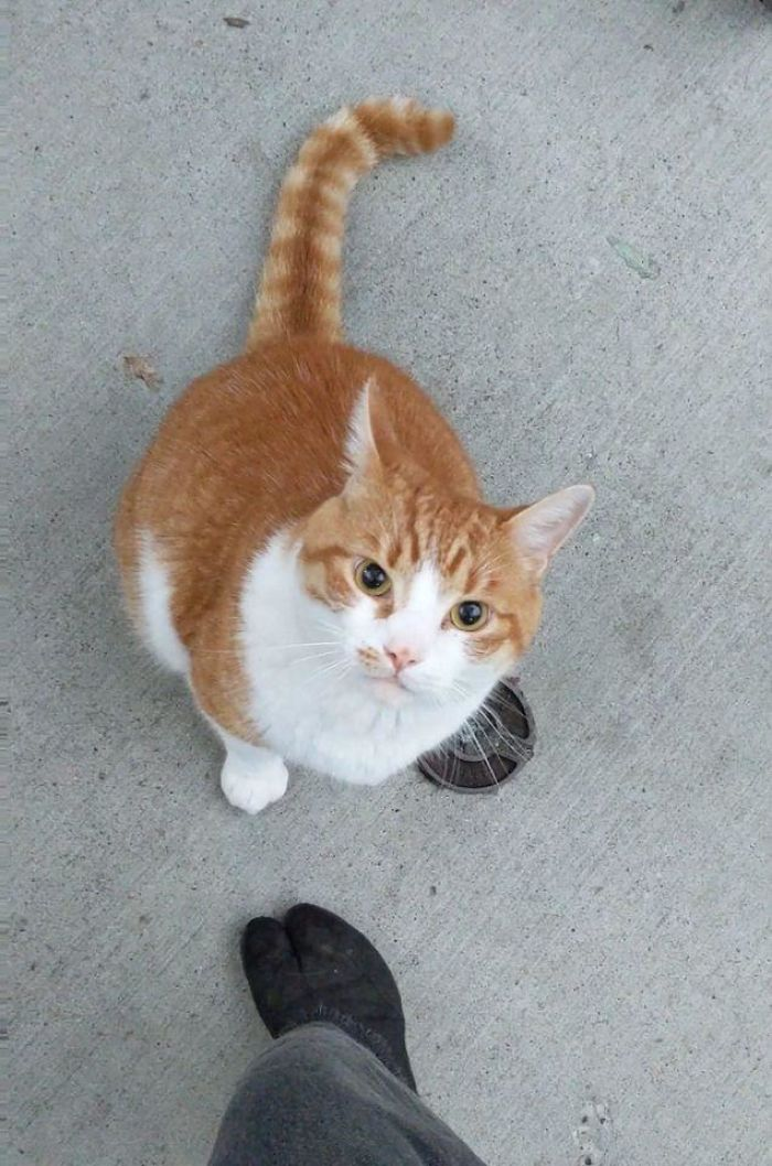 Holy Mackerel!!! I Met This Thicc, Loud, Very Friendly Boy Who Would Not Let Me Leave!!!! Plz Find Attached: Video Of This Big Old Creamsicle Slapping Me With His Paw When I Tried To Walk Away
