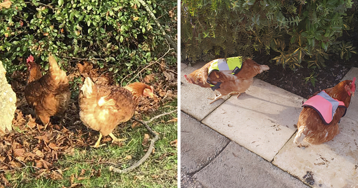 Man Grows Tired Of His Chickens Always Escaping The Coop So He Buys Them High-Visibility Vests