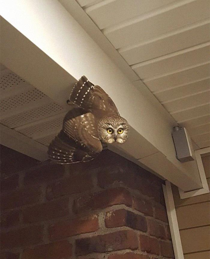 Knock At The Door Turned Out To Be This Owl