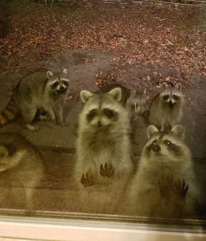 I Saw Your Iguana Cannon And Raise You Blurry Racoon Army