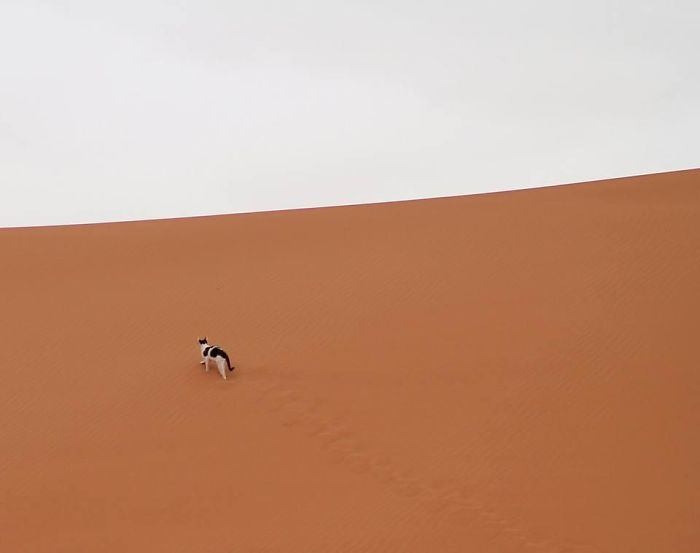 The Last Thing I Expected To Spot In The Sahara Desert Was A Tuxedo Kitty. The Berber People In Our Tent Told Me He Visits Sometimes To Chase Away The Scorpions
