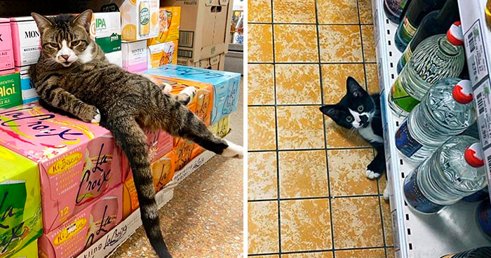 This Twitter Account Collects Photos Of Cats In Small Shops Looking Like They Own The Place (30 New Pics)