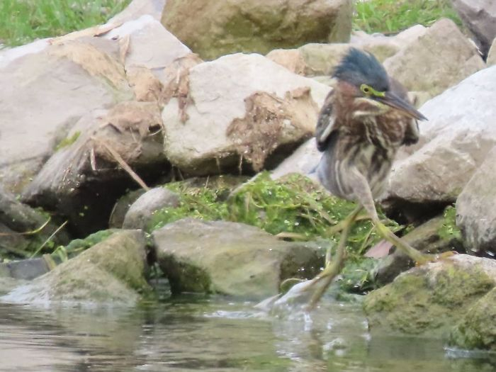 Someone Suggested I Put This Photo Of My Crazy Green Heron Doing A Dance On The Water And Rocks