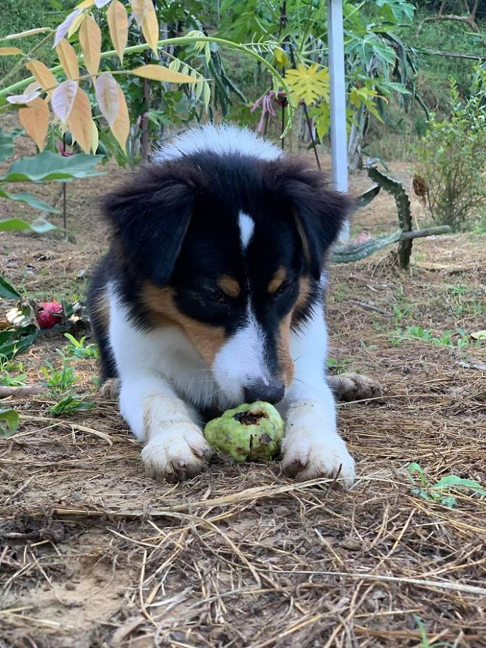Dogs Observe Fruit Being Harvested, But The Fruit's Calling Is Too Strong (9 Pics)