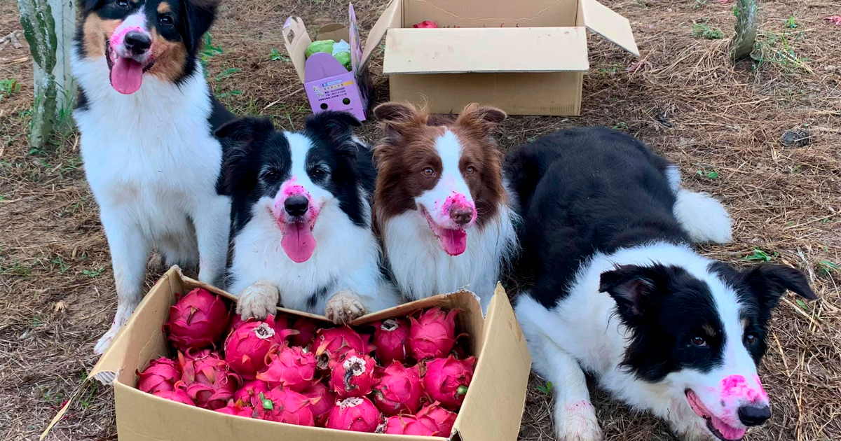 Dogs Go Fruit Harvesting With Owner, Can't Resist Temptation (9 Pics)
