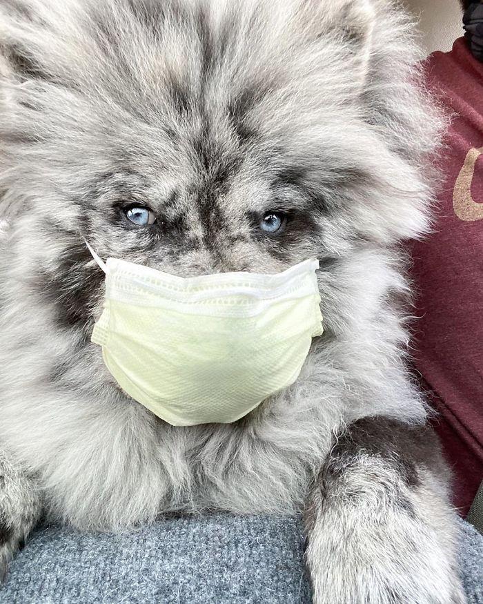 Fluffy-Dog-Oreo-Cloud-Chief