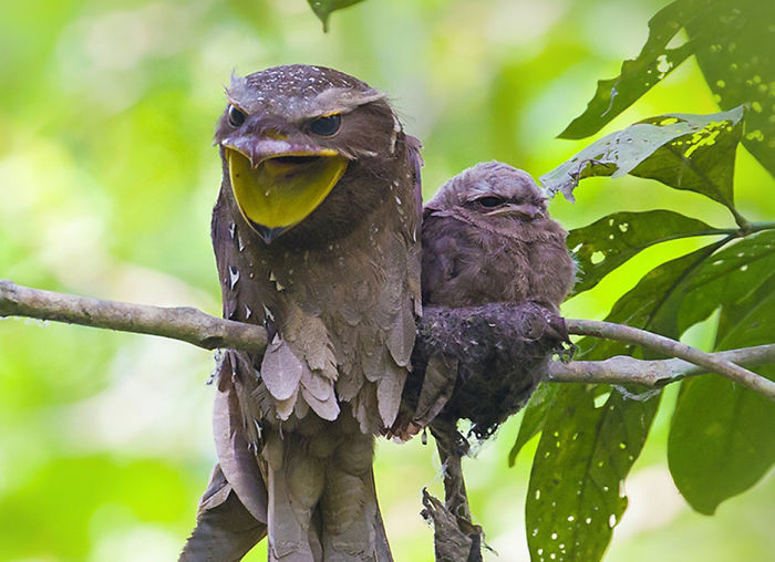 Frogmouth-Birds-Cute-Babies-Pics