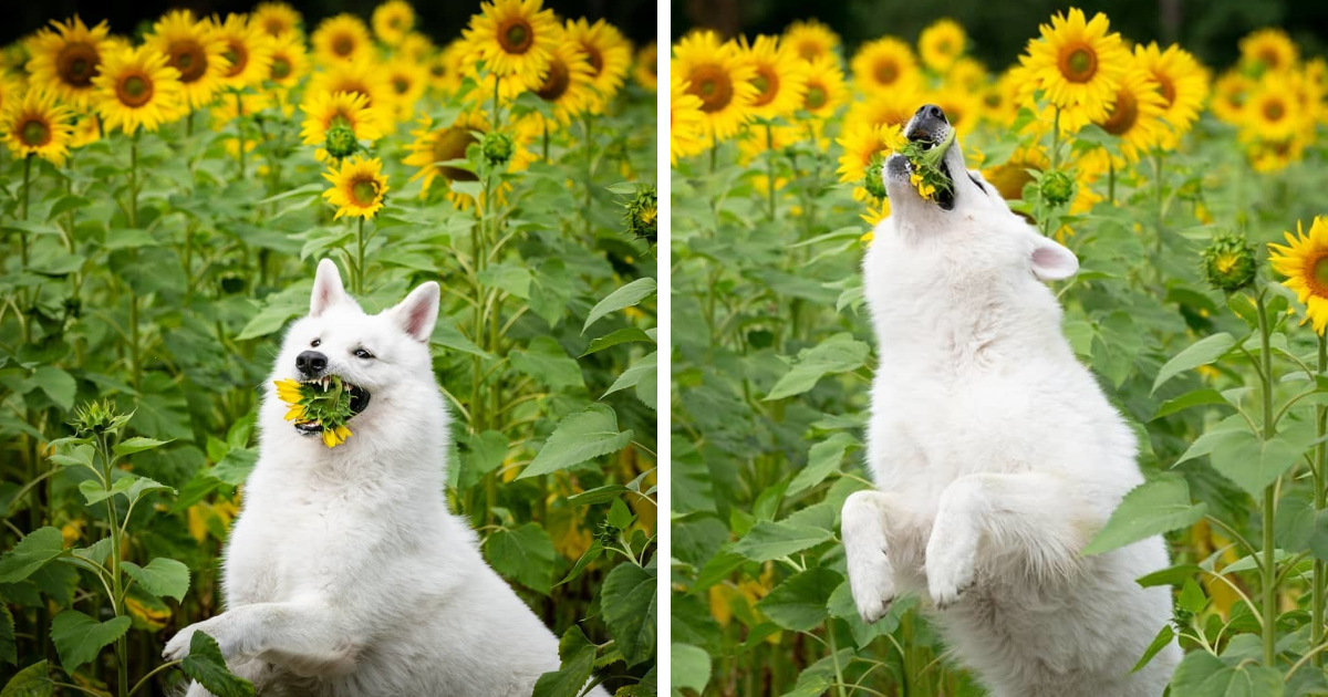 Woman Hoped For Dreamy Portraits Of Her Dogs With Sunflowers, Got Hilarious Pictures Instead