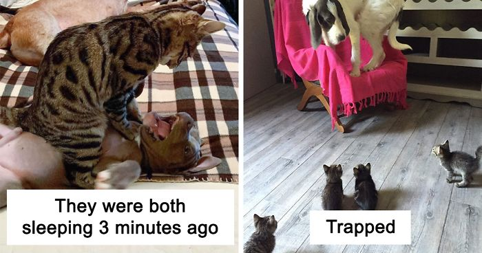 40 Hilarious Photos Of Cats Being The Biggest Jerks To Dogs Bored Panda