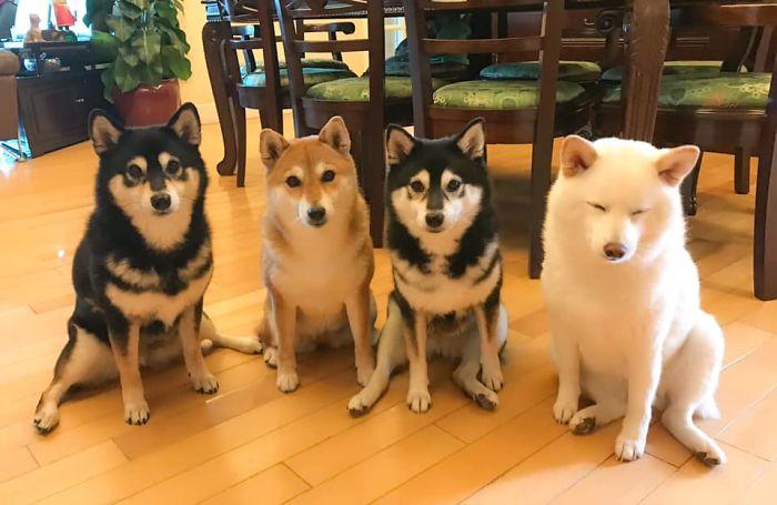 Funny-Photobombing-Shiba-Inu-Dog-Photos