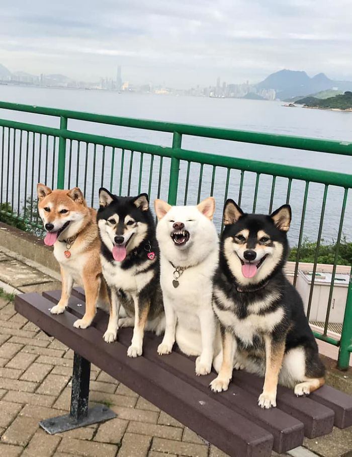 'We All Have This Friend': Shiba Inu Goes Viral For Constantly Ruining Group Pics