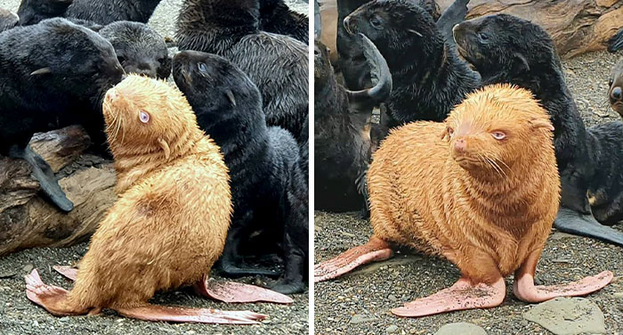 "This ""Ugly Duckling"" Ginger Seal Became An Outcast In His Colony For His Unusual Looks"